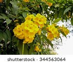 Yellow Tree Flowers As A...