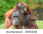 Mother Orangutan With Her Cute...