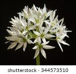 allium  ursinum  onion plant