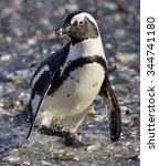 Small photo of African penguin. African penguin (spheniscus demersus), also known as the jackass penguin and black-footed penguin is a species of penguin Boulders colony in Cape Town,South Africa
