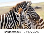 Stock photo a baby zebra equus quagga and his mother in ngorongoro conservation area tanzania 344779643