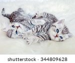 Stock photo two young british short hair black silver tabby spotted kittens lying on sheep skin playing together 344809628