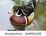 Male Wood Duck Swimming On The...