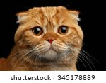 closeup ginger scottish fold... | Shutterstock . vector #345178889