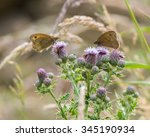 Two Meadow Brown Butterflies O...