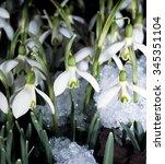 snowdrops  galanthus nivalis   Shutterstock . vector #345351104