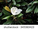 Small photo of Magnolia grandiflora, species is a disjunct distribution, with a main centre in east and southeast Asia.