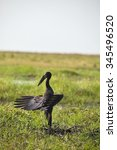 Small photo of Anastomus lamelligerus, African openbill, in Chobe National Park, Botswana