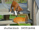 Stock photo boxer puppy reaching for a sleeping cat 345516446