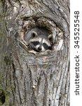 Little Raccoon Peeking Out Of...