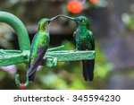 Two Green Hummingbirds In The...