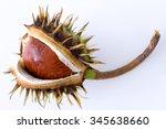 Aesculus Hippocastanum   Commo...
