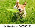 Stock photo dog playing at green grass with flying disk 345743219