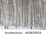 Big Grove Of Silver Birches In...