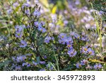 New England Aster In The...