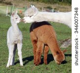Alpaca Is A Domesticated...