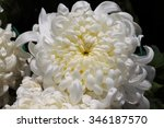 full blooming chrysanthemum... | Shutterstock . vector #346187570