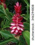 Small photo of Pink and red ginger flower (alpinia purpurata)