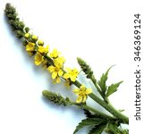 Small photo of Agrimony; Agrimonia; Evpatoria