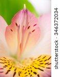 Alstroemeria Flower With Purpl...