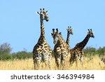 giraffe in the savannah masai... | Shutterstock . vector #346394984