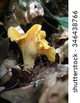Chantrelle Mushroom