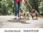 Stock photo three english bulldog on a leash 346459208