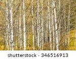 A Grove Of Aspen Tree Trunks In ...