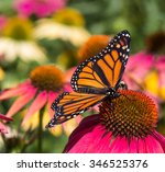 A Monarch Butterfly  With Its...