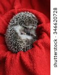 Hedgehog Pet Curled Up Into A...