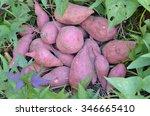 Sweet Potato Plants.