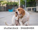 a beagle dog's scratching her... | Shutterstock . vector #346684484