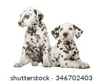 Stock photo two dalmatian puppies in front of a white background 346702403