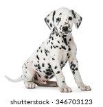 Dalmatian Puppy Sitting In...