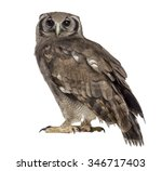 Stock photo verreaux s eagle owl bubo lacteus years old in front of a white background 346717403