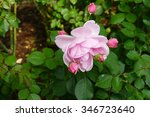 Blooming Pink Rose  Milrose  I...