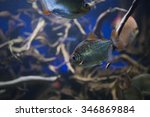Silver Dollar Fishes. The Fish...