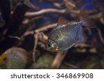 Silver Dollar Fish. The Fish I...