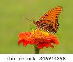 Small photo of Agraulis vanillae, Gulf Fritillary butterfly on an orange Zinnia flower