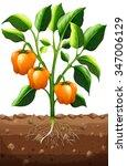orange capsicum on the plant... | Shutterstock .eps vector #347006129