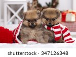Stock photo christmas puppy pomeranian spitz 347126348