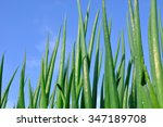 close up of onion plantation in ...   Shutterstock . vector #347189708