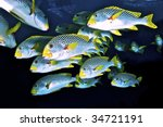 School Of Sweetlips. Coral Sea  ...