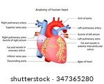 medical structure of the heart... | Shutterstock . vector #347365280