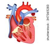 medical structure of the heart...   Shutterstock . vector #347365283