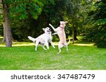 Stock photo two dogs playing on a green grass outdoors 347487479