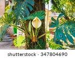 Monstera Deliciosa Plant....