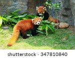 Two Cute Red Panda Eating...