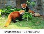 Two Cute Red Panda Eating...