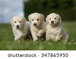 Three Adorable Purebred Golden...